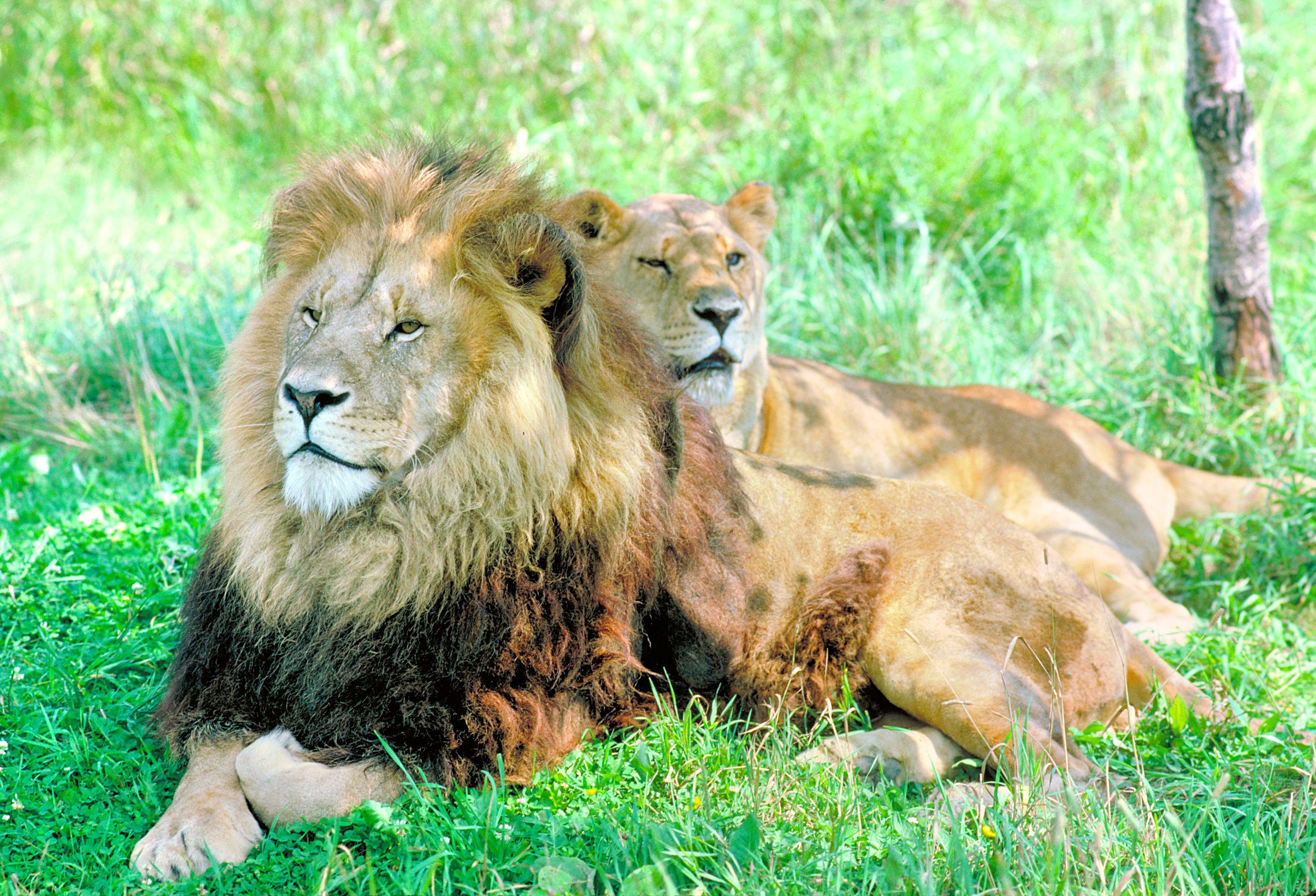 非洲獅野生動物園
