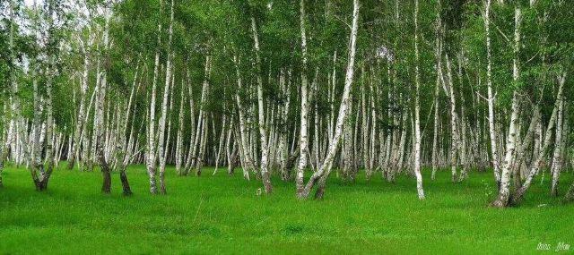 禾木白樺林