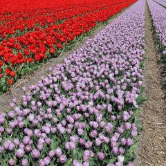 Keukenhof Holland User Photo