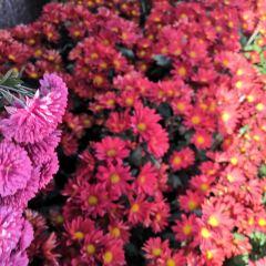 菊花博覽園用戶圖片