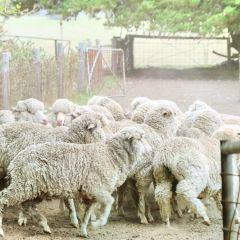 澳洲羊毛樂園用戶圖片