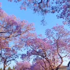 藍花楹林蔭道用戶圖片