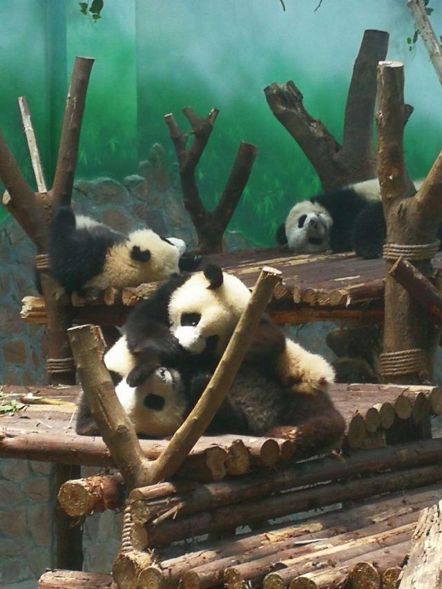 청두 판다 번식연구기지