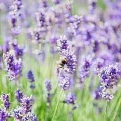 Wanaka Lavender Farm User Photo