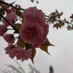 盛世聞櫻旅遊景區用戶圖片