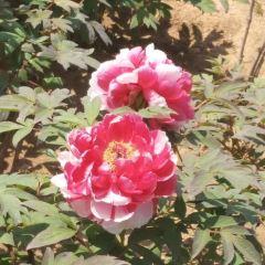 이핀톈샹 모란원 여행 사진