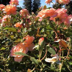 市立玫瑰園用戶圖片