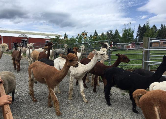 Seven Stars Alpaca Ranch