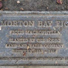 Moreton Bay Fig Tree User Photo