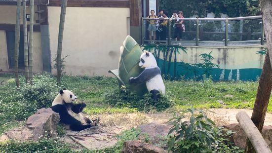 里面有两个可爱的国宝大熊猫,我们去的时候运气不错,一个大熊猫