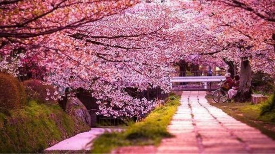 平壩農場櫻花園