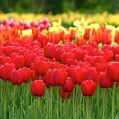 Veldheer Tulip Garden用戶圖片