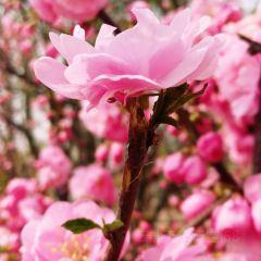 벚꽃 계곡 여행 사진