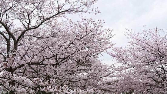 開滿櫻花的海洋——米子城跡米子城跡是一個能令人感到平靜又舒適