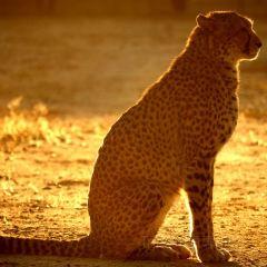 Cheetah Conservation Fund User Photo