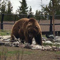 灰熊與狼保護中心用戶圖片