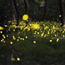 檳城州高淵古鄻河螢火蟲一日遊(夢幻夜遊螢火蟲之旅)