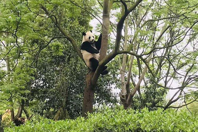 Chengdu Panda Research Center Half Day Trip