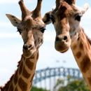 Sydney Harbour Ferry with Taronga Zoo Entry Ticket