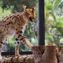 African Cat Encounter at Werribee Open Range Zoo