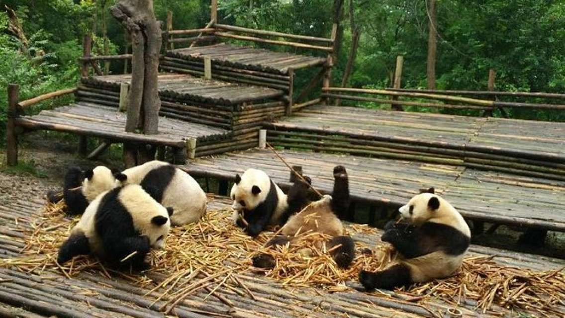 From Chengdu: Panda Base and Giant Buddha in One Day