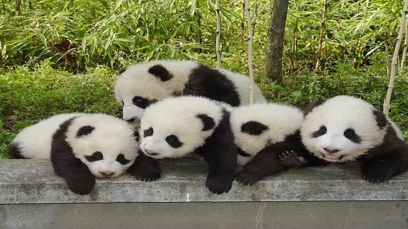 中國大熊貓保護研究中心都江堰基地