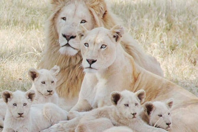 Lion Park Tour from Johannesburg or Pretoria