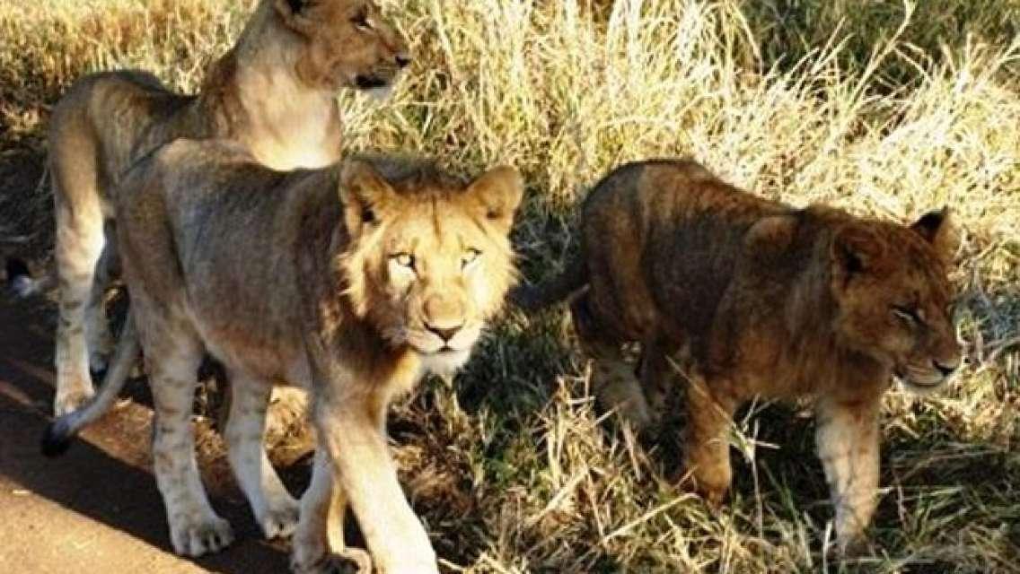 Rhino and Lion Park Guided Closest Safari Reserve to Johannesburg and Pretoria