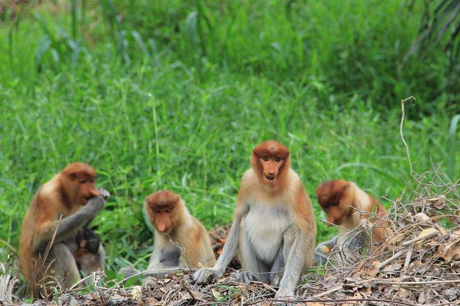 Klias Proboscis Monkey and Firefly Cruise from Kota Kinabalu City