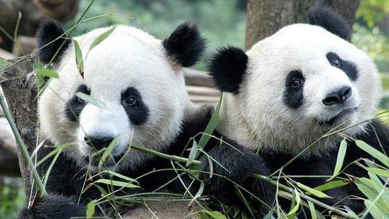 Private Half-Day Chengdu Panda Breeding Center Tour with Optional Volunteer