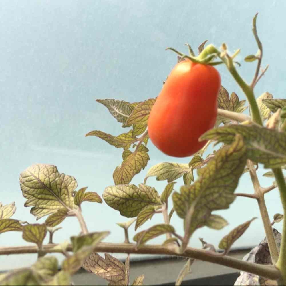 一颗小番茄