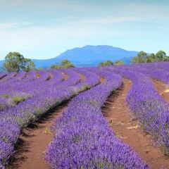 Yuulong Lavender Estate User Photo
