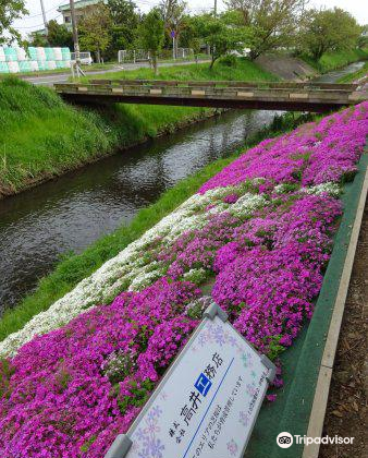 Moss Phlox of Shibuta Riverbank