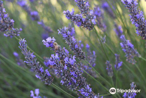 Alphra Lavenders