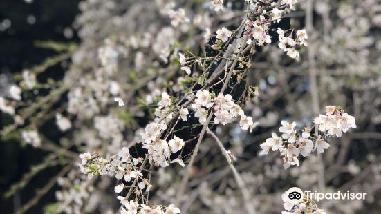 Okuyamada Weeping Sakura